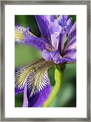 Framed Print featuring the photograph Blue Flag  by Susan Capuano