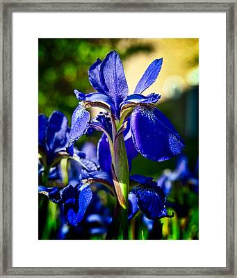 Blue Flame Iris Framed Print by Michael Putnam
