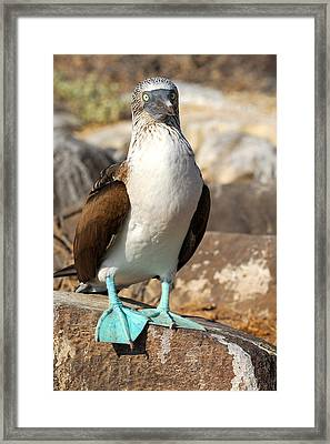 Blue-footed Booby Framed Print by Alan Lenk