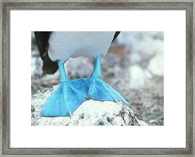 Blue-footed Booby Feet Framed Print by Peter Scoones