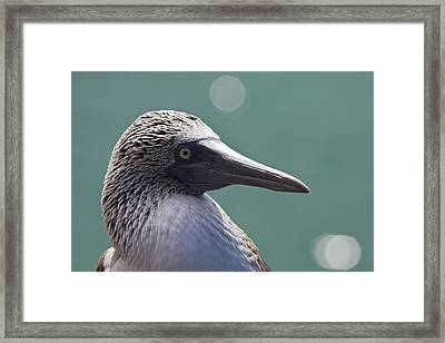Blue Footed Booby II Framed Print by Dave Fleetham