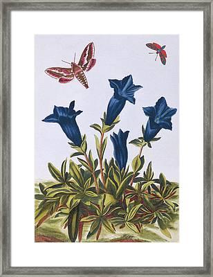 Blue Gentian  Trumpet Flower  Framed Print