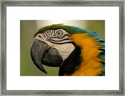 Blue Gold Macaw South America Framed Print