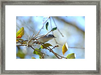 Blue Grey Gnatcatcher Framed Print by Steven Scott