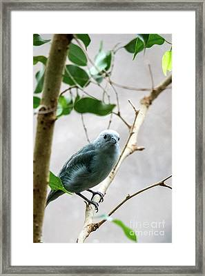 Blue-grey Tanager 2 Framed Print