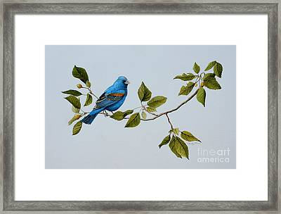 Blue Grosbeak Framed Print