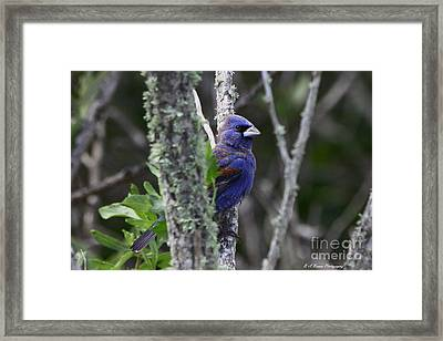 Blue Grosbeak In A Mangrove Framed Print