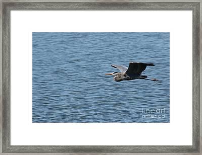 Blue Heron # 1 Framed Print by Geraldine DeBoer
