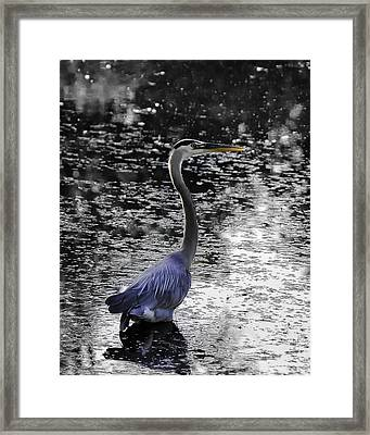 Blue Heron 2008 Framed Print