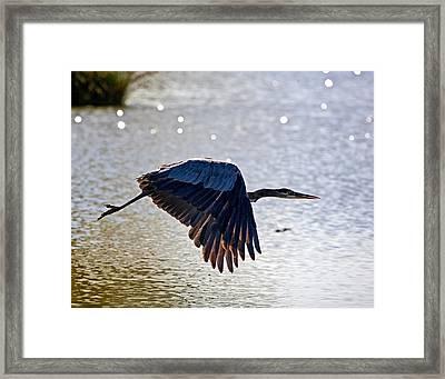 Blue Heron Aglow Framed Print by Charlie Osborn