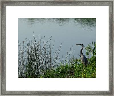 Blue Heron Framed Print by Anna Villarreal Garbis