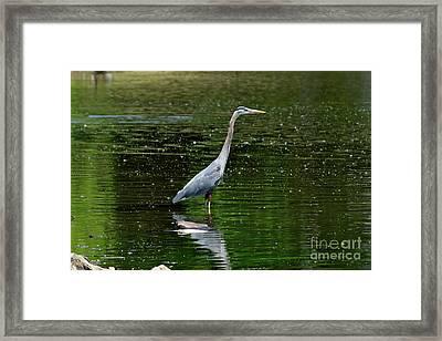 Blue Heron Framed Print by Brian Kalbe