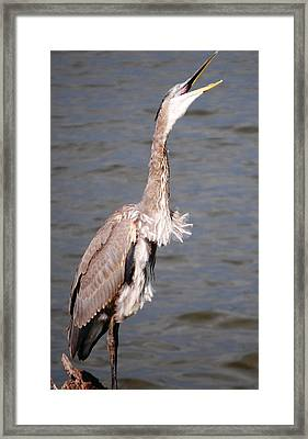 Framed Print featuring the photograph Blue Heron Calling by Sumoflam Photography