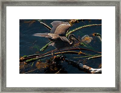 Blue Heron Fishing Framed Print