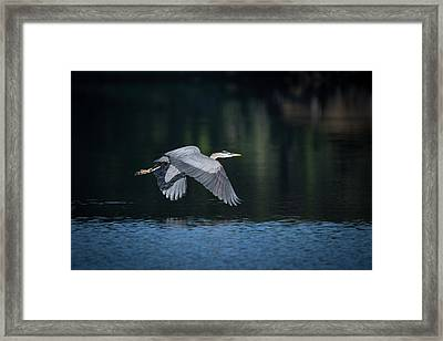 Blue Heron Flying Framed Print