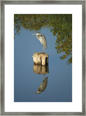 Blue Heron Framed Print by Heidi Poulin