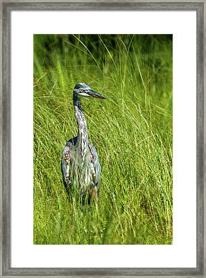 Framed Print featuring the photograph Blue Heron In A Marsh by Paul Freidlund