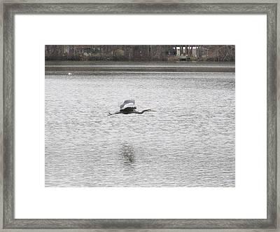 Blue Heron In Flight Framed Print by Jennifer  Sweet