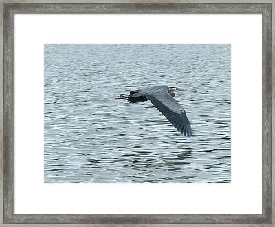 Blue Heron In Flight Framed Print by Nick Gustafson