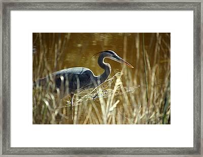 Blue Heron In The Grasses Framed Print by Rosanne Jordan