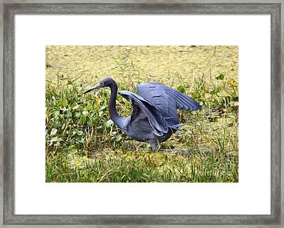 Blue Heron In The Marsh Framed Print by Carol Groenen