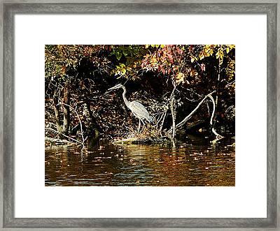 Blue Heron In Wooded Pond  Framed Print by Floyd  Kauffman