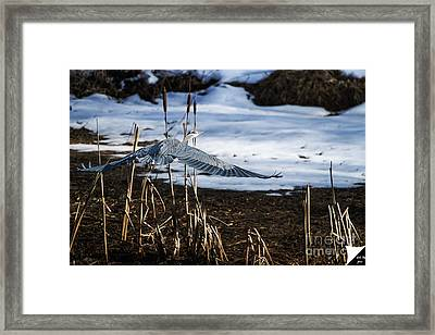 Framed Print featuring the photograph Blue Heron by Jim  Hatch