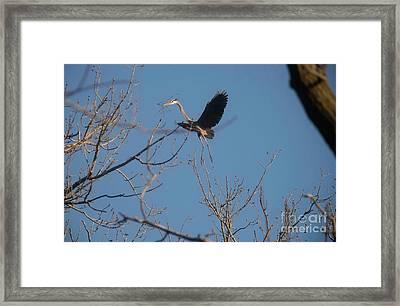 Framed Print featuring the photograph Blue Heron Landing by David Bearden
