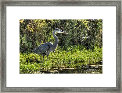 Blue Heron Framed Print by Marc Bittan