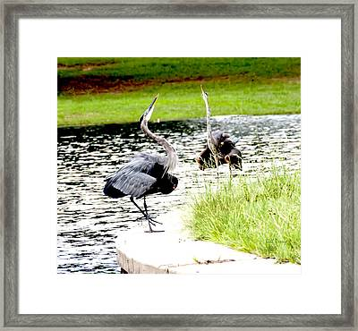 Blue Heron Mating Dance Framed Print by Bill Perry