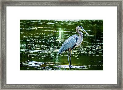 Blue Heron Framed Print by Optical Playground By MP Ray