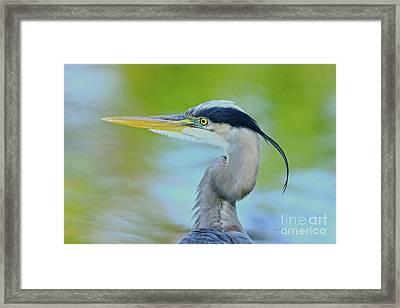 Framed Print featuring the photograph Blue Heron Portrait 2017 by Deborah Benoit