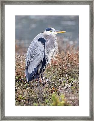 Blue Heron Portrait Framed Print by Eddie Yerkish
