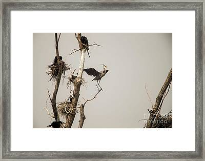 Framed Print featuring the photograph Blue Heron Posing by David Bearden