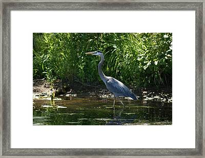 Framed Print featuring the photograph Blue Heron by Ron Read