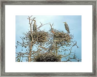 Blue Heron Rookery 2 Framed Print by Leland D Howard