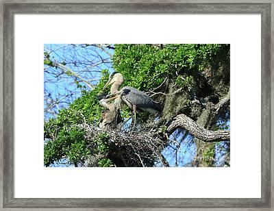 Framed Print featuring the photograph Blue Heron Series Baby 1 by Deborah Benoit