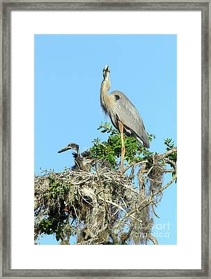 Framed Print featuring the photograph Blue Heron Series Baby 2 by Deborah Benoit