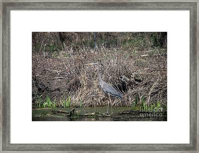 Framed Print featuring the photograph Blue Heron Stalking Dinner by David Bearden