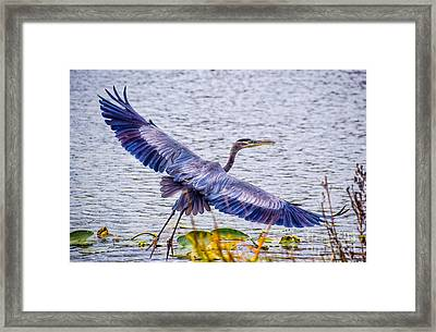 Blue Heron  Take Off  Framed Print