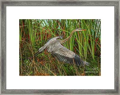 Blue Heron Take-off Framed Print