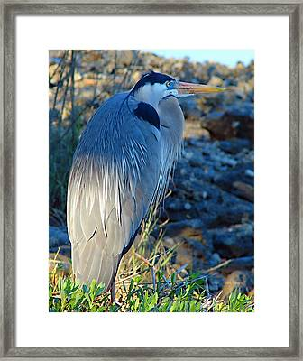 Blue Heron Visions Framed Print by Nada Frazier