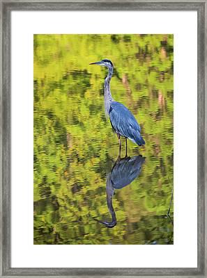 Blue Heron Wading Framed Print