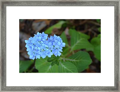 Blue Hydrangea Blossom Framed Print by Aimee L Maher Photography and Art Visit ALMGallerydotcom
