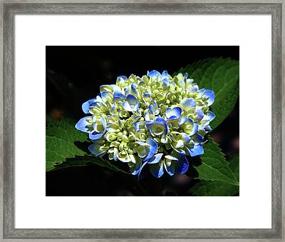 Blue Hydrangea Onstage 2620 H_2 Framed Print