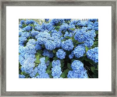 Blue Hydrangeas Framed Print