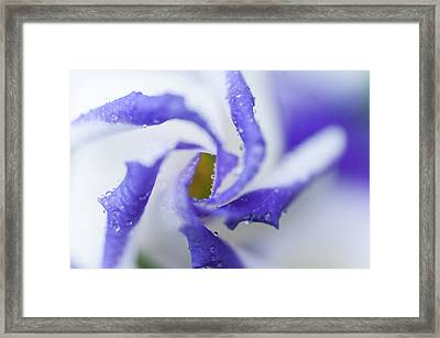 Framed Print featuring the photograph Blue Inspiration. Lisianthus Flower Macro by Jenny Rainbow