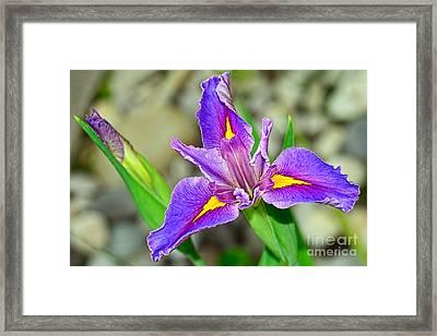 Blue Iris By Kaye Menner Framed Print by Kaye Menner