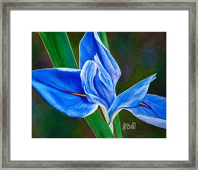 Blue Iris Framed Print by Laura Bell