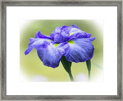 Blue Iris Framed Print by Venetia Featherstone-Witty
